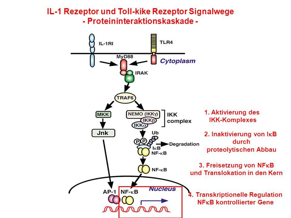 IL-1 Rezeptor und Toll-kike Rezeptor Signalwege - Proteininteraktionskaskade - 1. Aktivierung des IKK-Komplexes 2. Inaktivierung von I B durch proteol