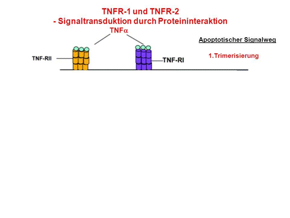 TNFR-1 und TNFR-2 - Signaltransduktion durch Proteininteraktion TNF 1.Trimerisierung Apoptotischer Signalweg