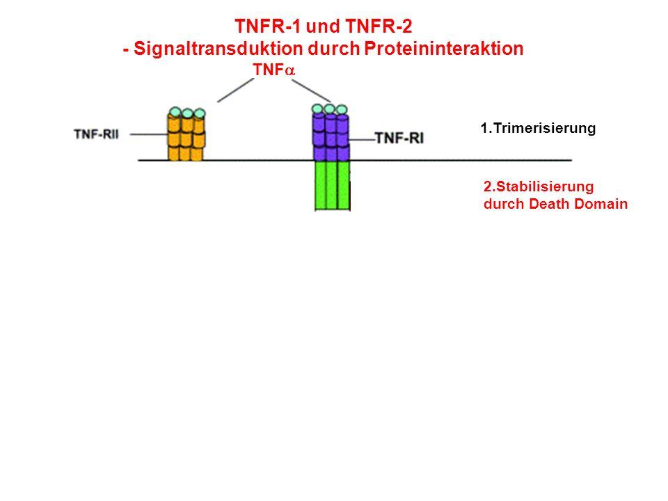 TNFR-1 und TNFR-2 - Signaltransduktion durch Proteininteraktion TNF 1.Trimerisierung 2.Stabilisierung durch Death Domain