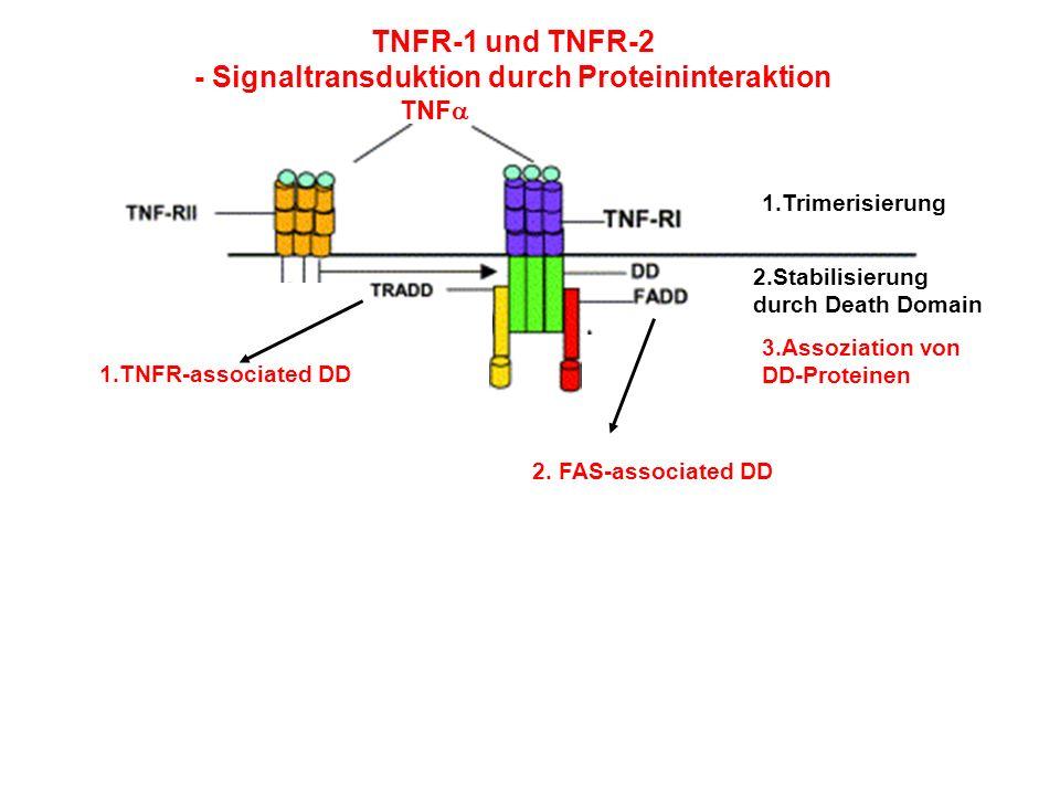 TNFR-1 und TNFR-2 - Signaltransduktion durch Proteininteraktion TNF 1.Trimerisierung 2.Stabilisierung durch Death Domain 3.Assoziation von DD-Proteine