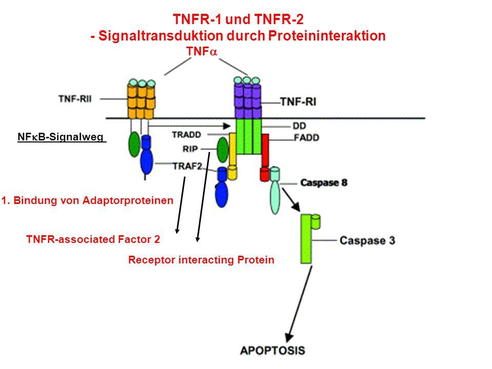 TNFR-1 und TNFR-2 - Signaltransduktion durch Proteininteraktion TNF TNFR-associated Factor 2 Receptor interacting Protein NF B-Signalweg 1. Bindung vo
