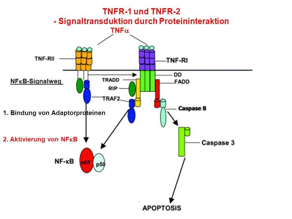 TNFR-1 und TNFR-2 - Signaltransduktion durch Proteininteraktion TNF NF B-Signalweg 1. Bindung von Adaptorproteinen 2. Aktivierung von NF B