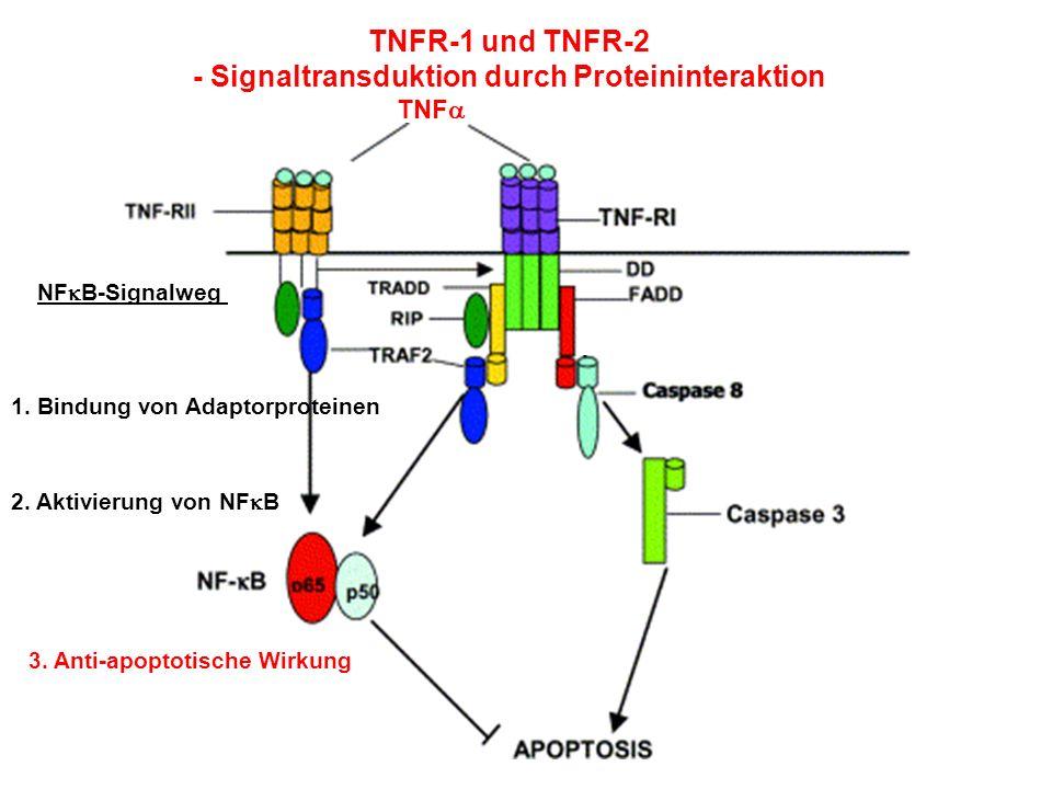 TNFR-1 und TNFR-2 - Signaltransduktion durch Proteininteraktion TNF NF B-Signalweg 1. Bindung von Adaptorproteinen 2. Aktivierung von NF B 3. Anti-apo