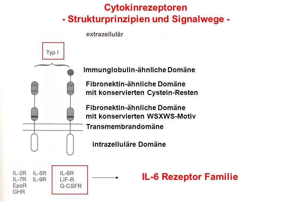Cytokinrezeptoren - Strukturprinzipien und Signalwege - Immunglobulin-ähnliche Domäne Fibronektin-ähnliche Domäne mit konservierten Cystein-Resten Fib