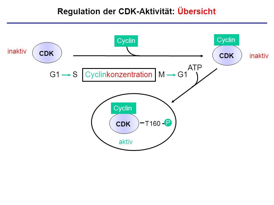 Regulation der CDK-Aktivität: Übersicht inaktiv CDK Cyclin aktiv T160 P CDK Cyclin CDK inaktiv P Cyclinkonzentration P G1 SM G1 ATP
