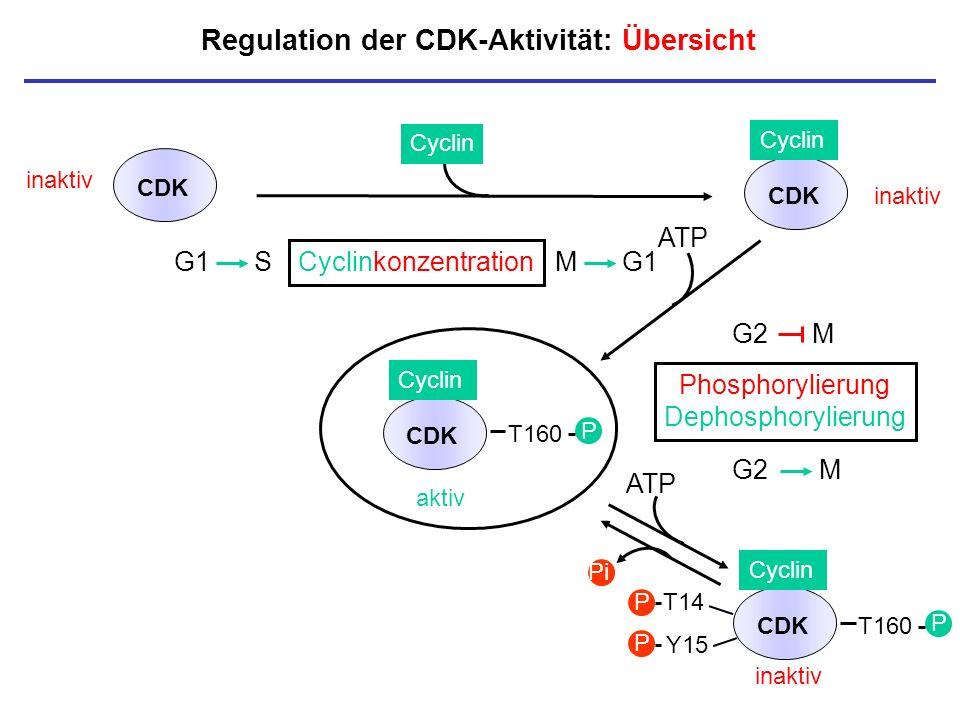 Regulation der CDK-Aktivität: Übersicht inaktiv CDK Cyclin aktiv T160 P CDK Cyclin CDK inaktiv P Cyclinkonzentration Phosphorylierung Dephosphorylieru