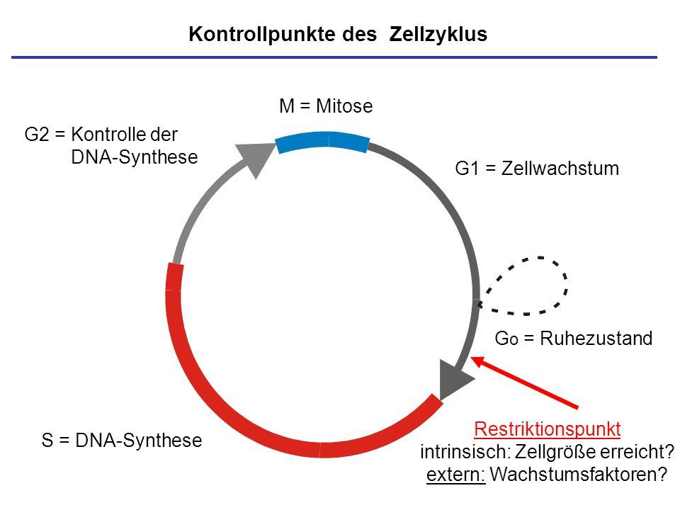 M = Mitose S = DNA-Synthese G o = Ruhezustand G1 = Zellwachstum G2 = Kontrolle der DNA-Synthese Kontrollpunkte des Zellzyklus Restriktionspunkt intrin