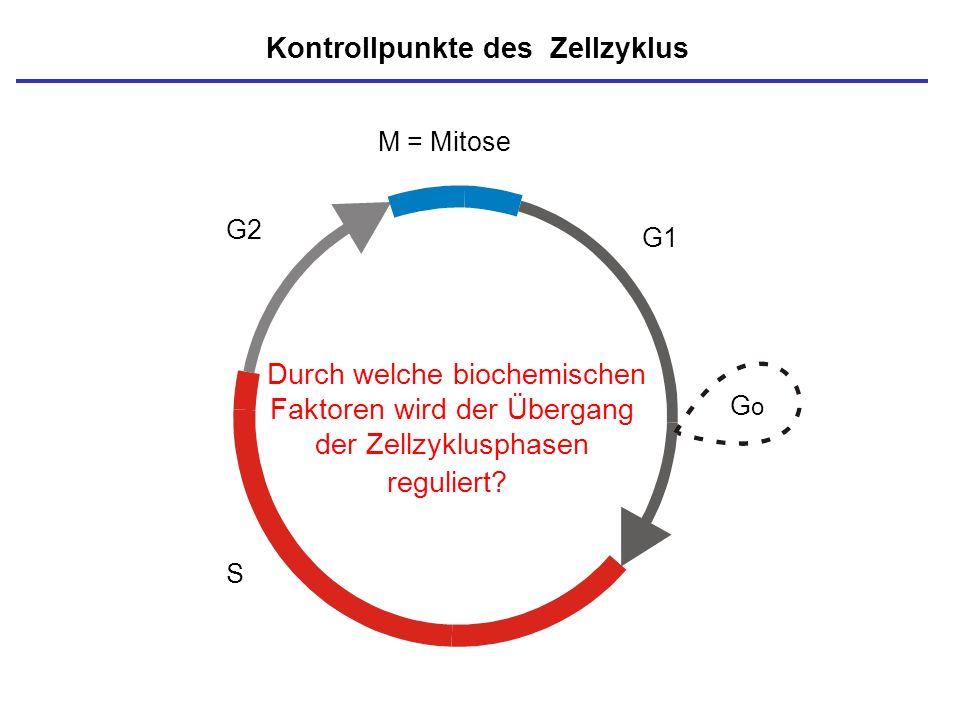 M = Mitose S GoGo G1 G2 Kontrollpunkte des Zellzyklus Durch welche biochemischen Faktoren wird der Übergang der Zellzyklusphasen reguliert?