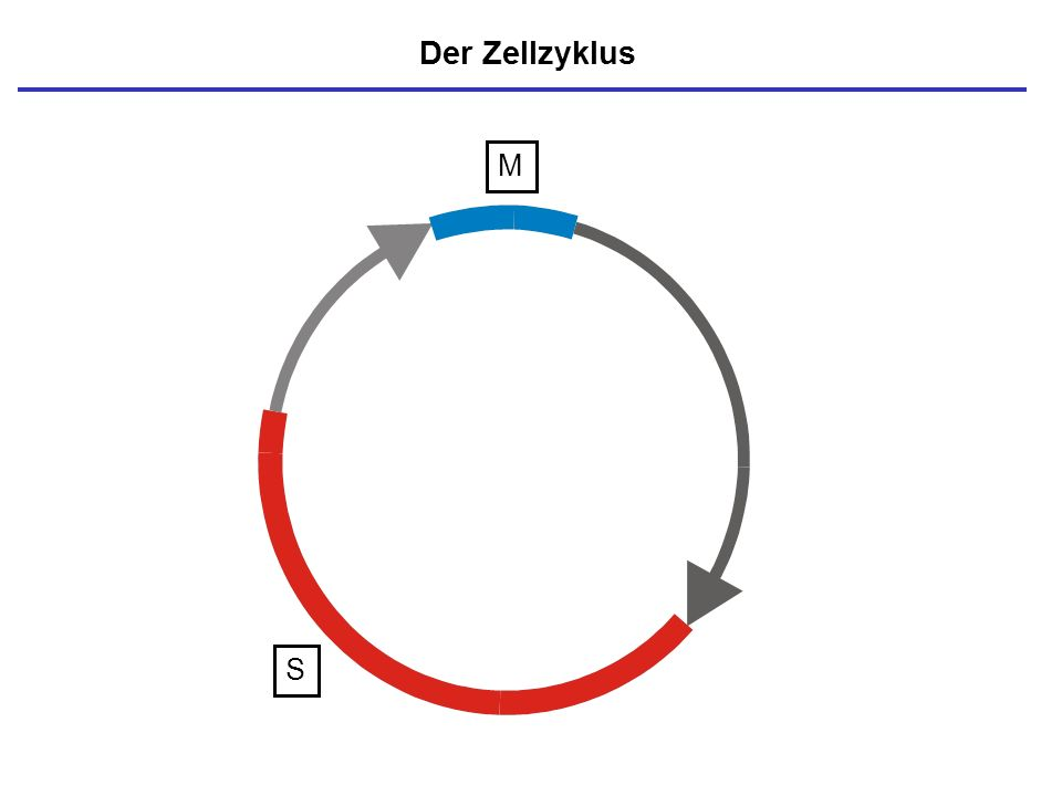 S = DNA-Synthese (Replikation) Der Zellzyklus M