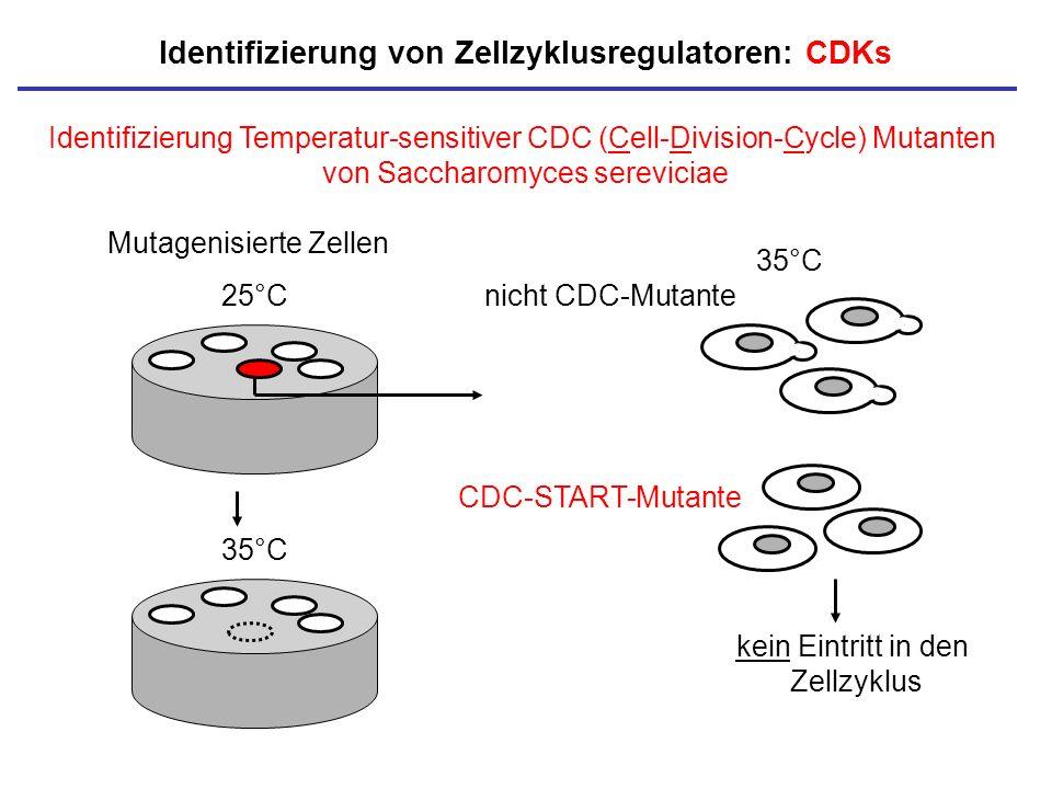 Identifizierung Temperatur-sensitiver CDC (Cell-Division-Cycle) Mutanten von Saccharomyces sereviciae Identifizierung von Zellzyklusregulatoren: CDKs