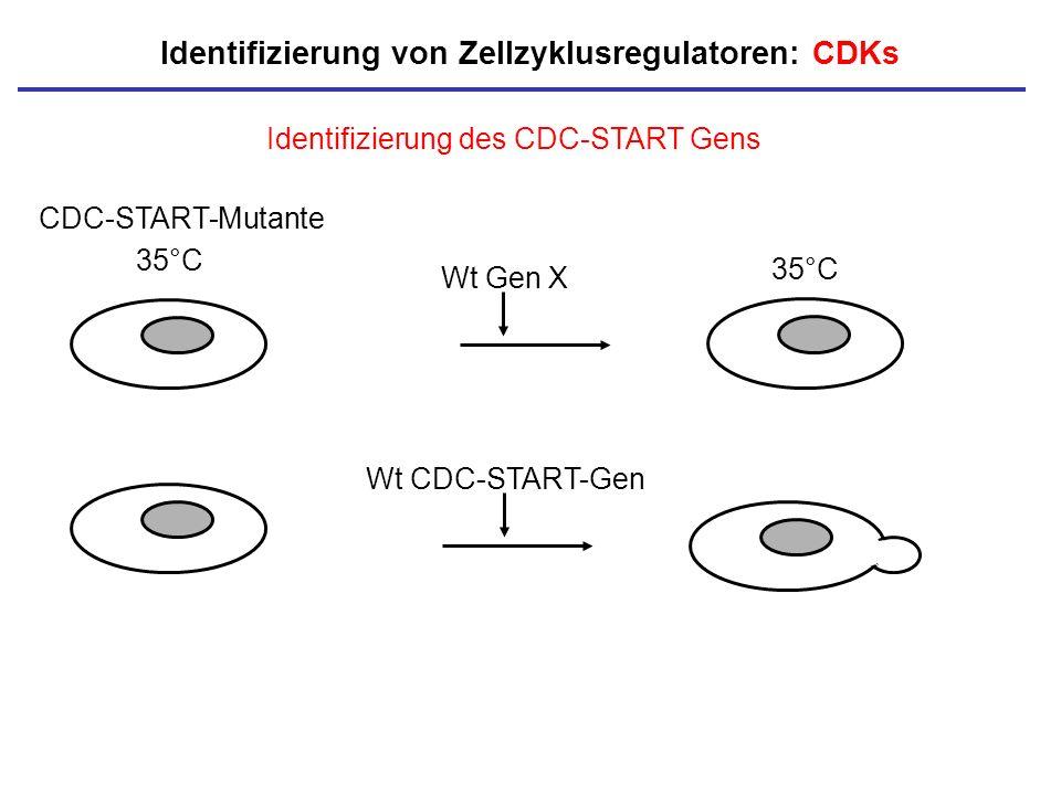 35°C Identifizierung des CDC-START Gens Wt CDC-START-Gen Identifizierung von Zellzyklusregulatoren: CDKs CDC-START-Mutante Wt Gen X