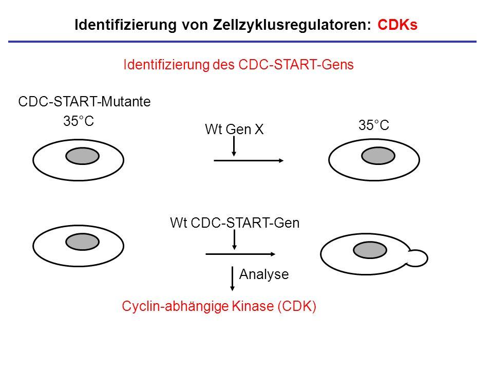 35°C Identifizierung des CDC-START-Gens Wt CDC-START-Gen Identifizierung von Zellzyklusregulatoren: CDKs CDC-START-Mutante Wt Gen X Cyclin-abhängige K