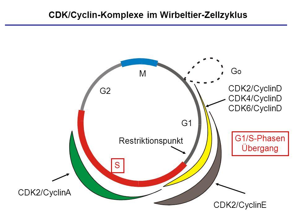 M S G1 G2 CDK/Cyclin-Komplexe im Wirbeltier-Zellzyklus Restriktionspunkt GoGo CDK2/CyclinE CDK2/CyclinA G1/S-Phasen Übergang CDK2/CyclinD CDK4/CyclinD