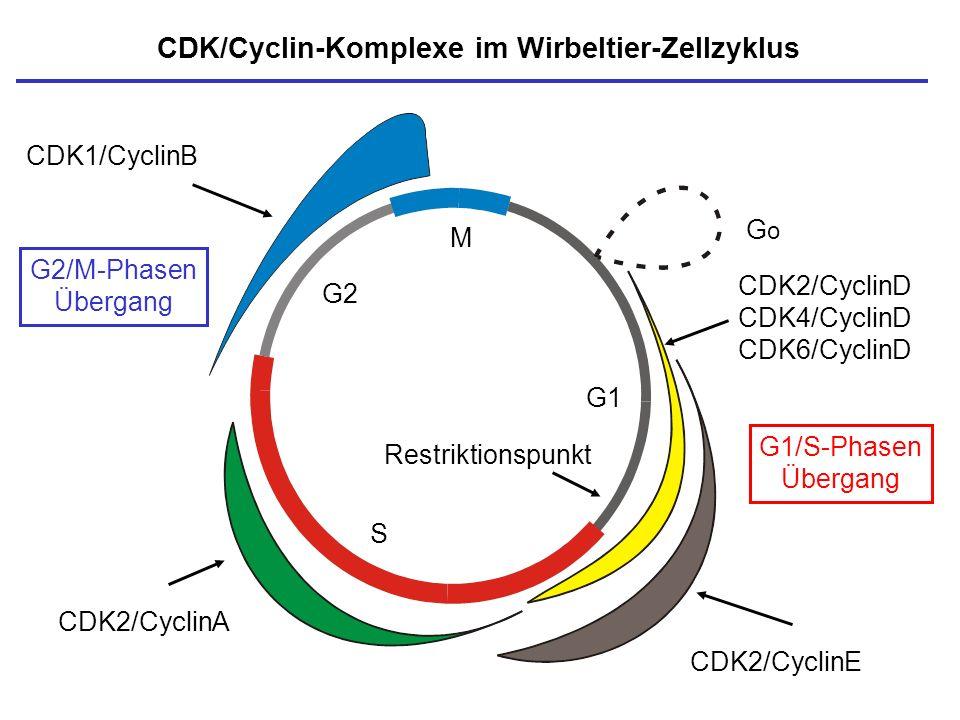 M S G1 G2 CDK/Cyclin-Komplexe im Wirbeltier-Zellzyklus Restriktionspunkt GoGo CDK2/CyclinE CDK1/CyclinB G1/S-Phasen Übergang G2/M-Phasen Übergang CDK2