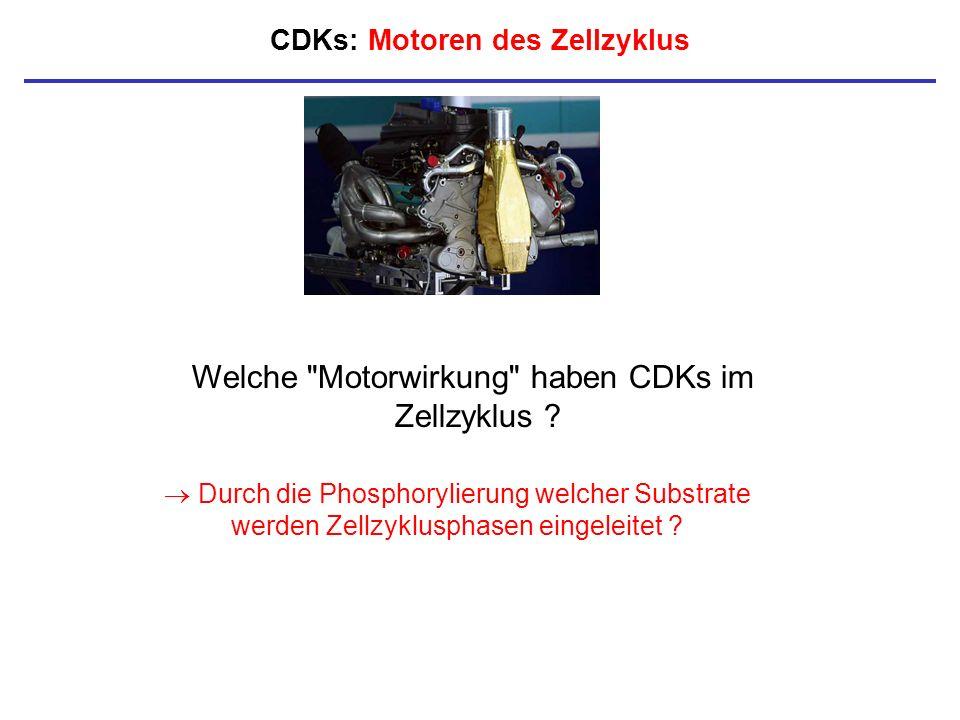 CDKs: Motoren des Zellzyklus Welche
