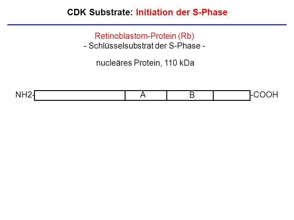 CDK Substrate: Initiation der S-Phase NH2--COOHA B Retinoblastom-Protein (Rb) - Schlüsselsubstrat der S-Phase - nucleäres Protein, 110 kDa
