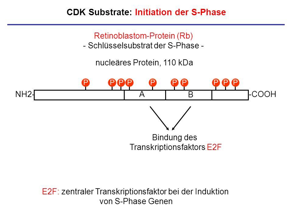 CDK Substrate: Initiation der S-Phase NH2--COOHA B Bindung des Transkriptionsfaktors E2F PPPPPPPPPP Retinoblastom-Protein (Rb) - Schlüsselsubstrat der