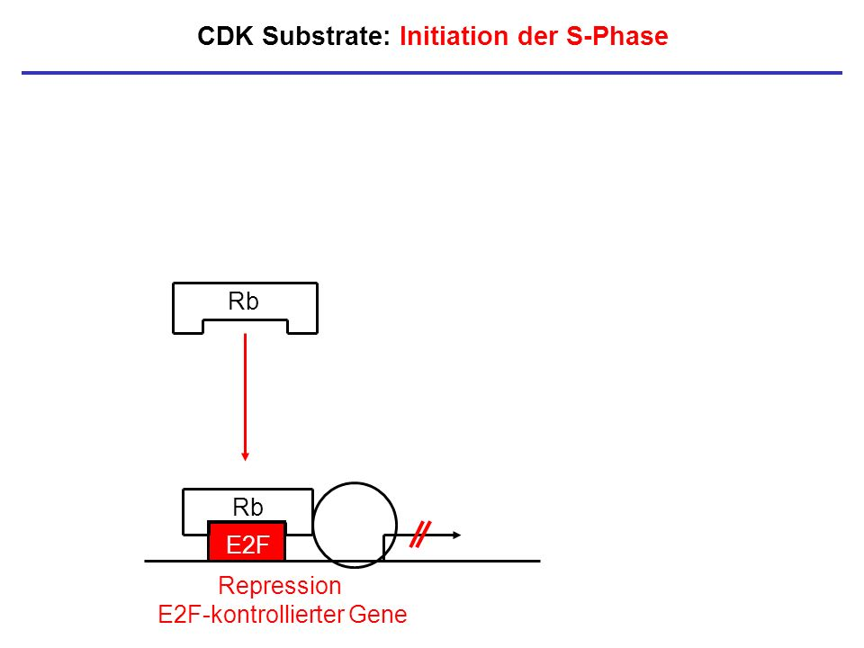 CDK Substrate: Initiation der S-Phase Rb E2F Rb Repression E2F-kontrollierter Gene