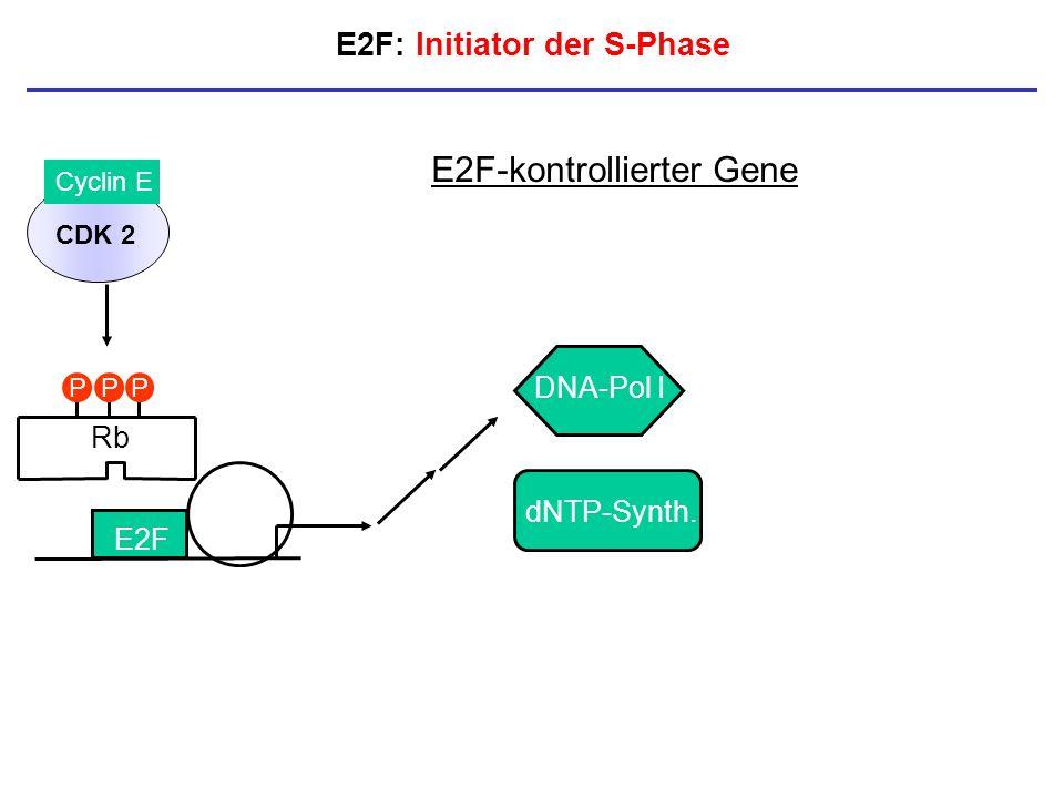 E2F: Initiator der S-Phase E2F E2F-kontrollierter Gene DNA-Pol I dNTP-Synth. CDK 2 Cyclin E Rb PPP