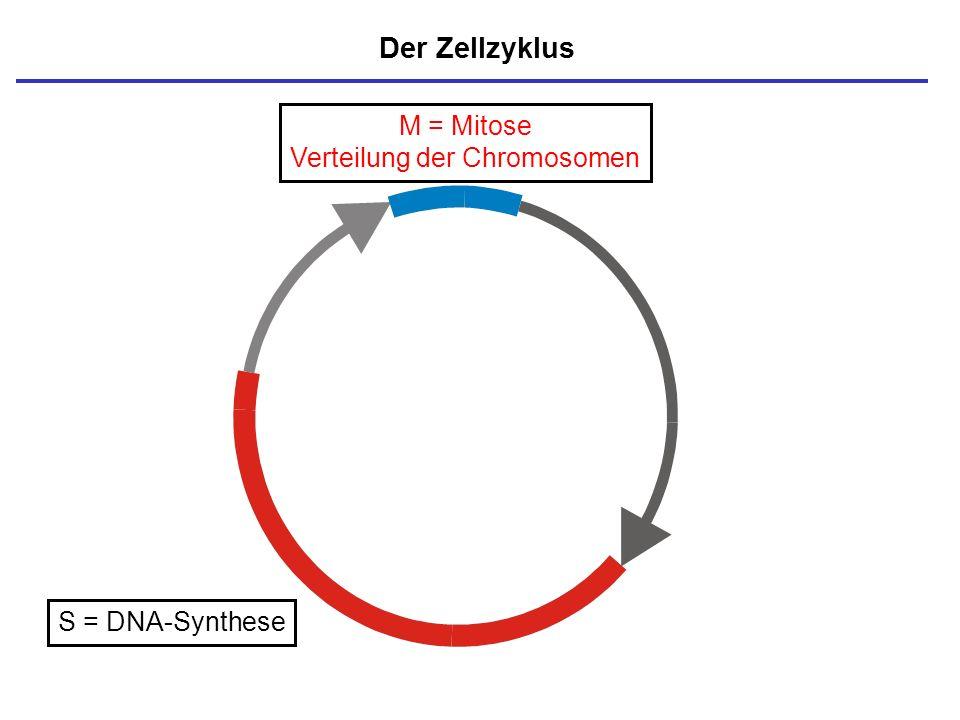 M = Mitose Verteilung der Chromosomen S = DNA-Synthese Der Zellzyklus