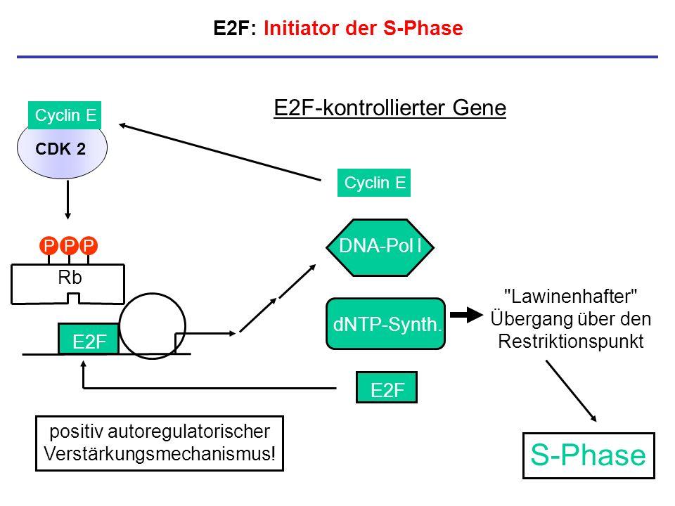 E2F: Initiator der S-Phase E2F E2F-kontrollierter Gene Cyclin E E2F DNA-Pol I dNTP-Synth. CDK 2 Cyclin E Rb PPP positiv autoregulatorischer Verstärkun