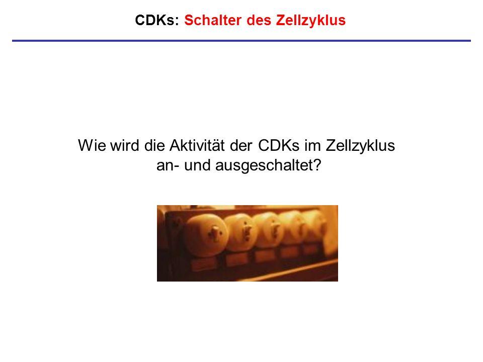 CDKs: Schalter des Zellzyklus Wie wird die Aktivität der CDKs im Zellzyklus an- und ausgeschaltet?