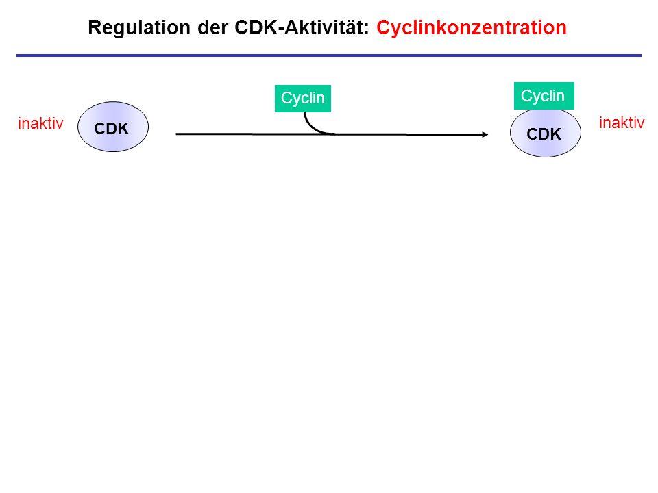 Regulation der CDK-Aktivität: Cyclinkonzentration inaktiv CDK Cyclin CDK inaktiv