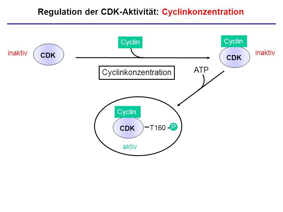 Regulation der CDK-Aktivität: Cyclinkonzentration inaktiv CDK Cyclin CDK inaktiv P Cyclinkonzentration aktiv T160 P CDK Cyclin ATP