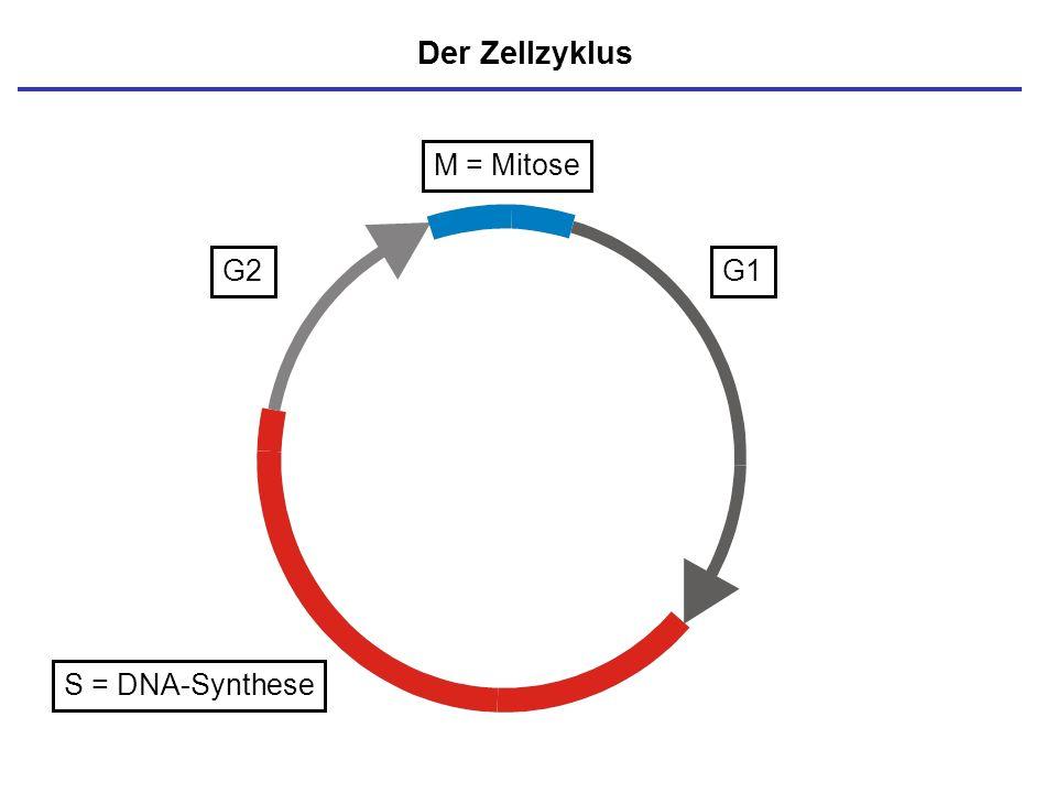 M = Mitose S = DNA-Synthese G1 Der Zellzyklus G2
