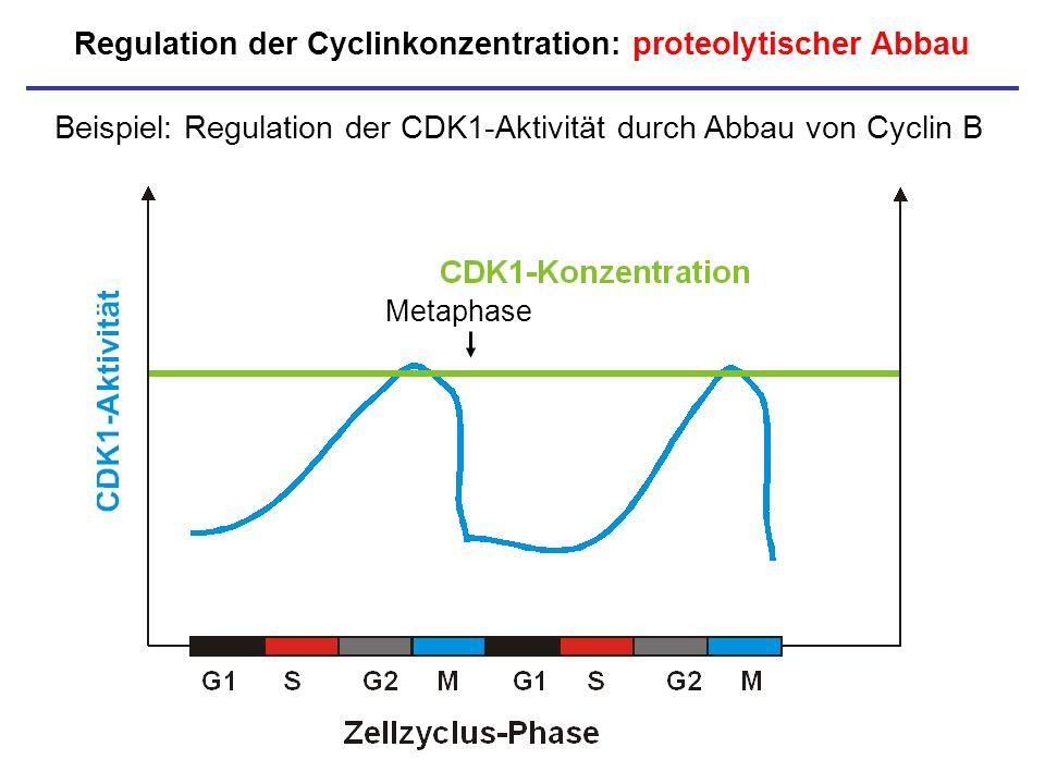 Regulation der Cyclinkonzentration: proteolytischer Abbau Beispiel: Regulation der CDK1-Aktivität durch Abbau von Cyclin B Metaphase
