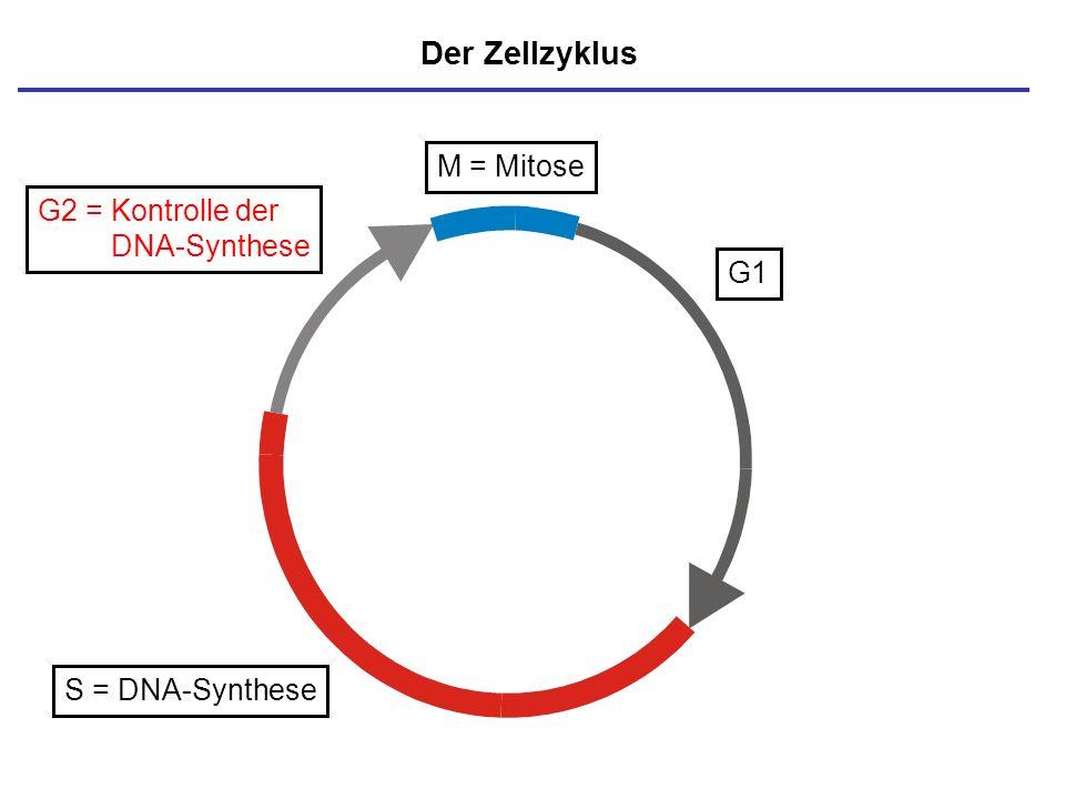 S = DNA-Synthese G2 = Kontrolle der DNA-Synthese Der Zellzyklus M = Mitose G1
