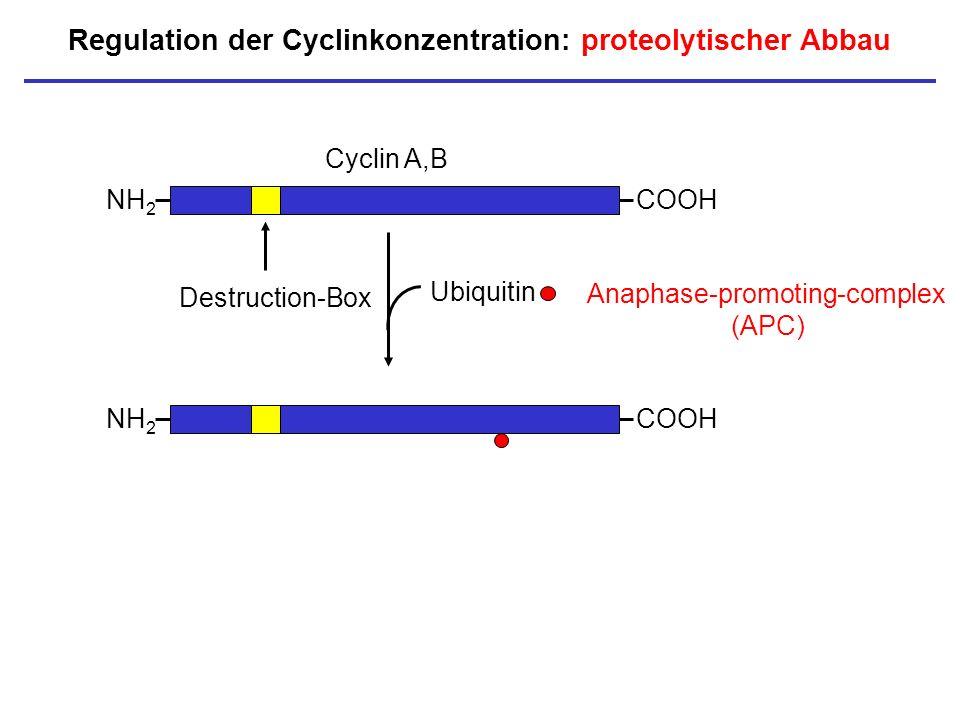 Regulation der Cyclinkonzentration: proteolytischer Abbau NH 2 COOH Cyclin A,B Destruction-Box NH 2 COOH Ubiquitin Anaphase-promoting-complex (APC)