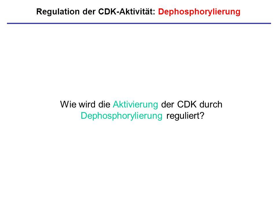 Regulation der CDK-Aktivität: Dephosphorylierung Wie wird die Aktivierung der CDK durch Dephosphorylierung reguliert?