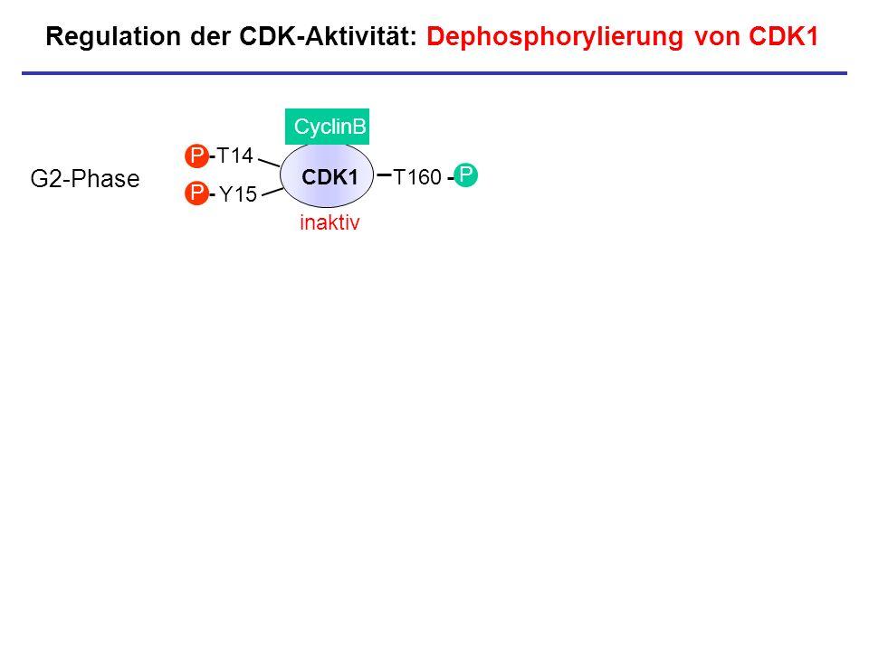 CDK1 CyclinB T14 Y15 P P inaktiv P T160 P Regulation der CDK-Aktivität: Dephosphorylierung von CDK1 G2-Phase