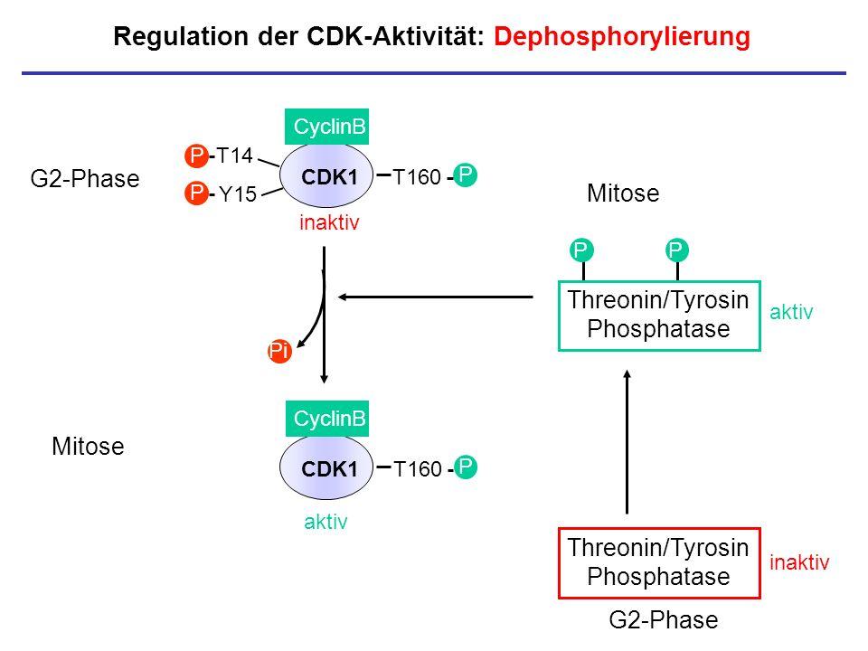 Regulation der CDK-Aktivität: Dephosphorylierung P P Threonin/Tyrosin Phosphatase aktiv Threonin/Tyrosin Phosphatase inaktiv CDK1 CyclinB T14 Y15 P P