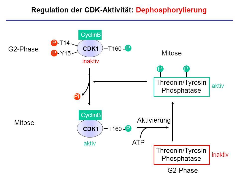 Regulation der CDK-Aktivität: Dephosphorylierung Aktivierung P P Threonin/Tyrosin Phosphatase aktiv Threonin/Tyrosin Phosphatase inaktiv CDK1 CyclinB
