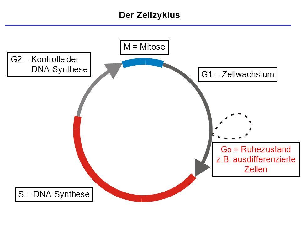 M = Mitose S = DNA-Synthese G o = Ruhezustand z.B. ausdifferenzierte Zellen G1 = Zellwachstum G2 = Kontrolle der DNA-Synthese Der Zellzyklus