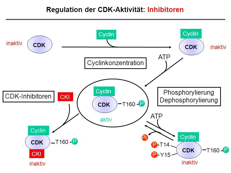 Regulation der CDK-Aktivität: Inhibitoren inaktiv CDK Cyclin aktiv T160 P CDK Cyclin T160 P CDK CKI CDK inaktiv Cyclin CKI P Cyclinkonzentration Phosp