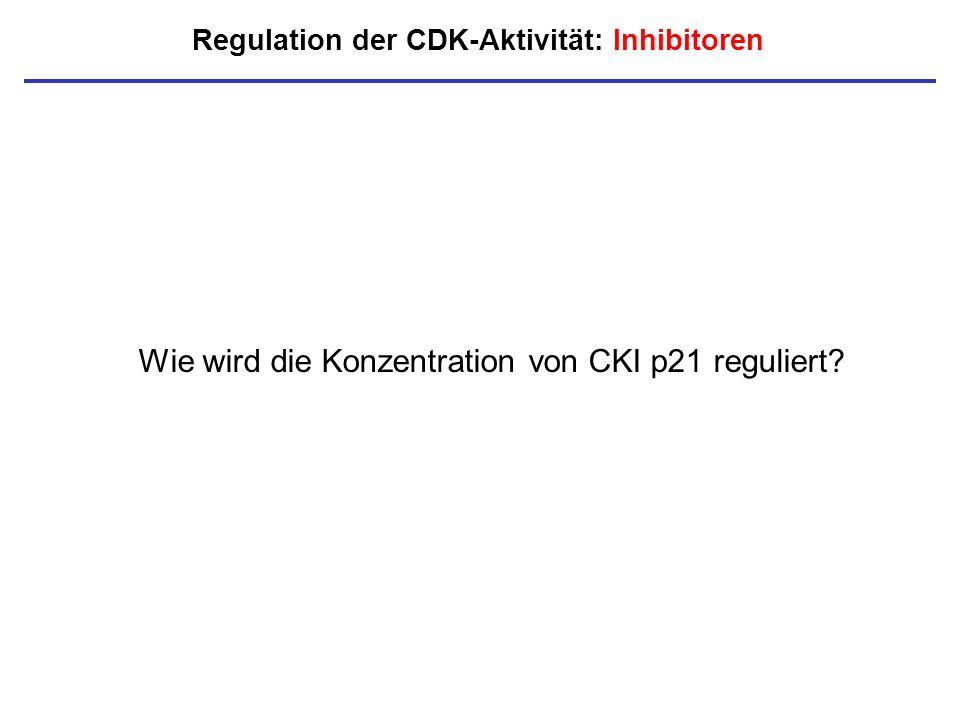 Regulation der CDK-Aktivität: Inhibitoren Wie wird die Konzentration von CKI p21 reguliert?