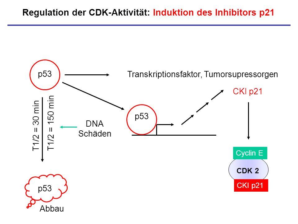 Regulation der CDK-Aktivität: Induktion des Inhibitors p21 p53 CKI p21 T1/2 = 30 min p53 Abbau DNA Schäden T1/2 = 150 min Transkriptionsfaktor, Tumors