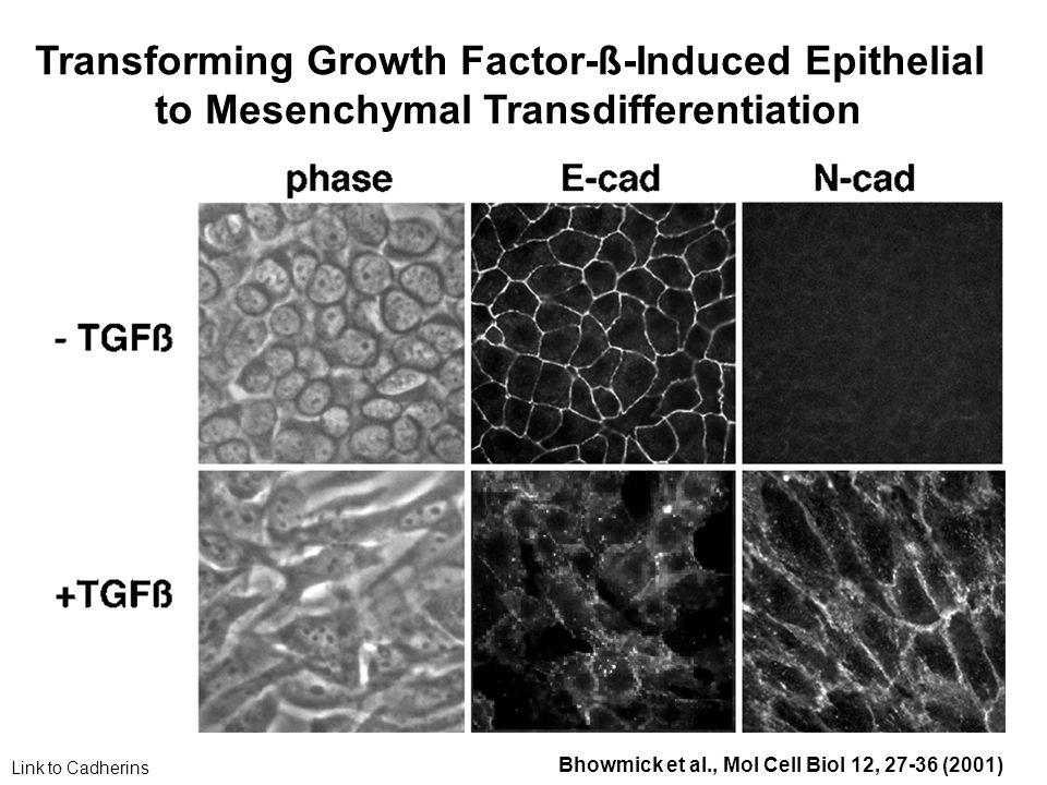 TGFß ein pleiotropes Cytokin - 3 Isoformen werden von Säugetierzellen exprimiert (TGFß 1-3) - Sequenz in verschiedenen Spezies hoch konserviert - TGFß1: Endotheliale, hämapoetische und Bindegewebszellen - TGFß2: Epitheliale und neuronale Zellen - TGFß3: Mesenchymale Zellen
