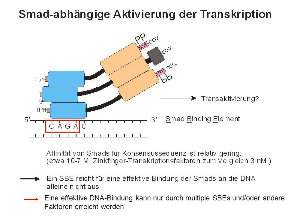 Eine effektive DNA-Bindung kann nur durch multiple SBEs und/oder andere Faktoren erreicht werden