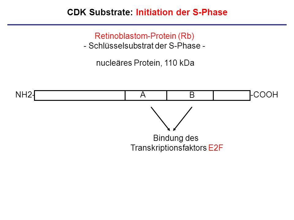 CDK Substrate: Initiation der S-Phase NH2--COOHA B Retinoblastom-Protein (Rb) - Schlüsselsubstrat der S-Phase - nucleäres Protein, 110 kDa Bindung des