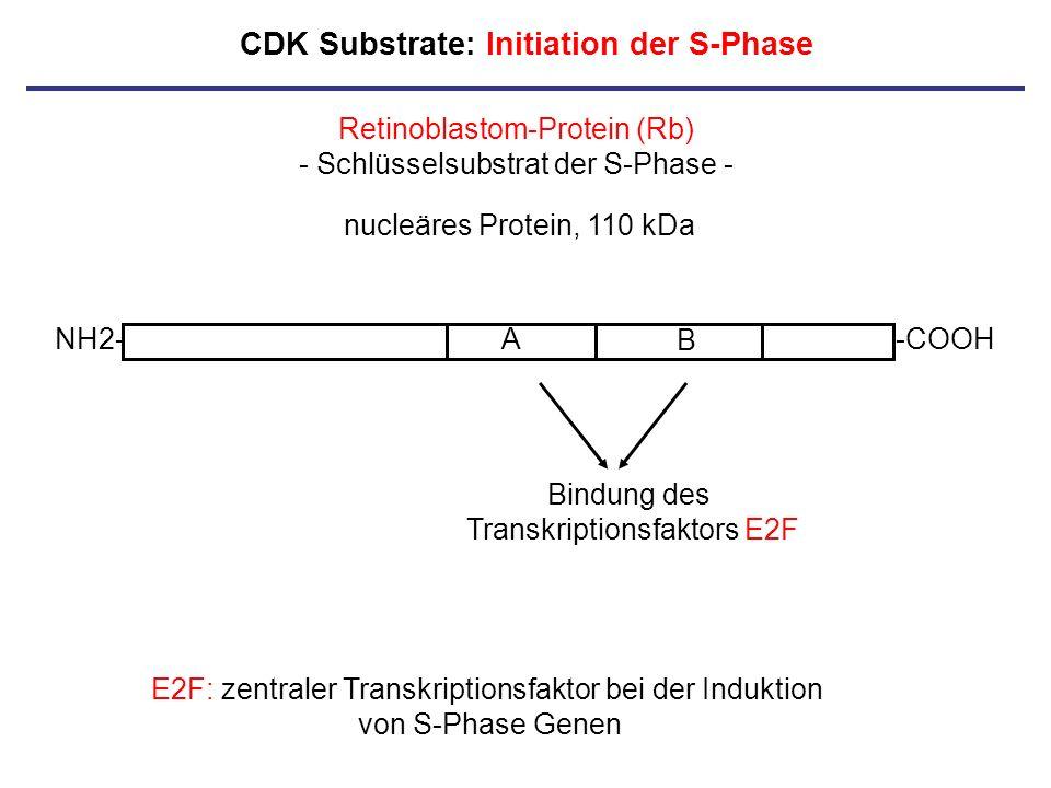 CDK Substrate: Initiation der S-Phase NH2--COOHA B E2F: zentraler Transkriptionsfaktor bei der Induktion von S-Phase Genen Retinoblastom-Protein (Rb)