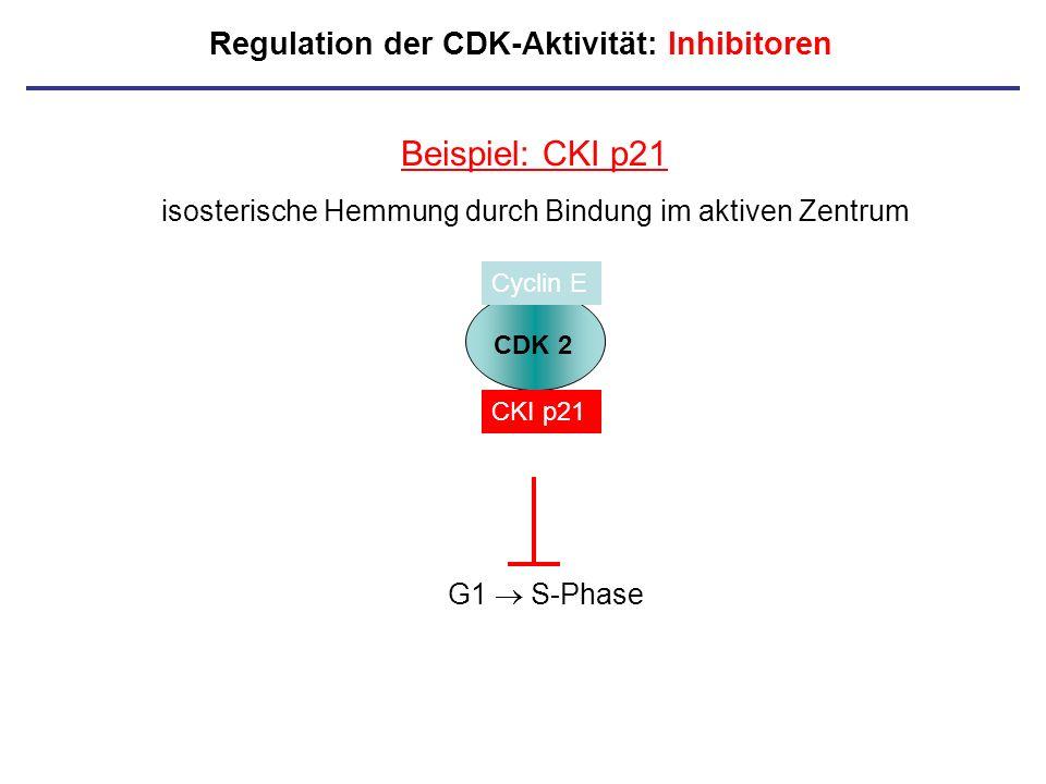 Regulation der CDK-Aktivität: Inhibitoren Beispiel: CKI p21 isosterische Hemmung durch Bindung im aktiven Zentrum CDK 2 Cyclin E CKI p21 G1 S-Phase