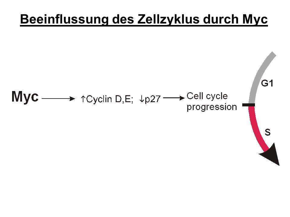 Beeinflussung des Zellzyklus durch Myc
