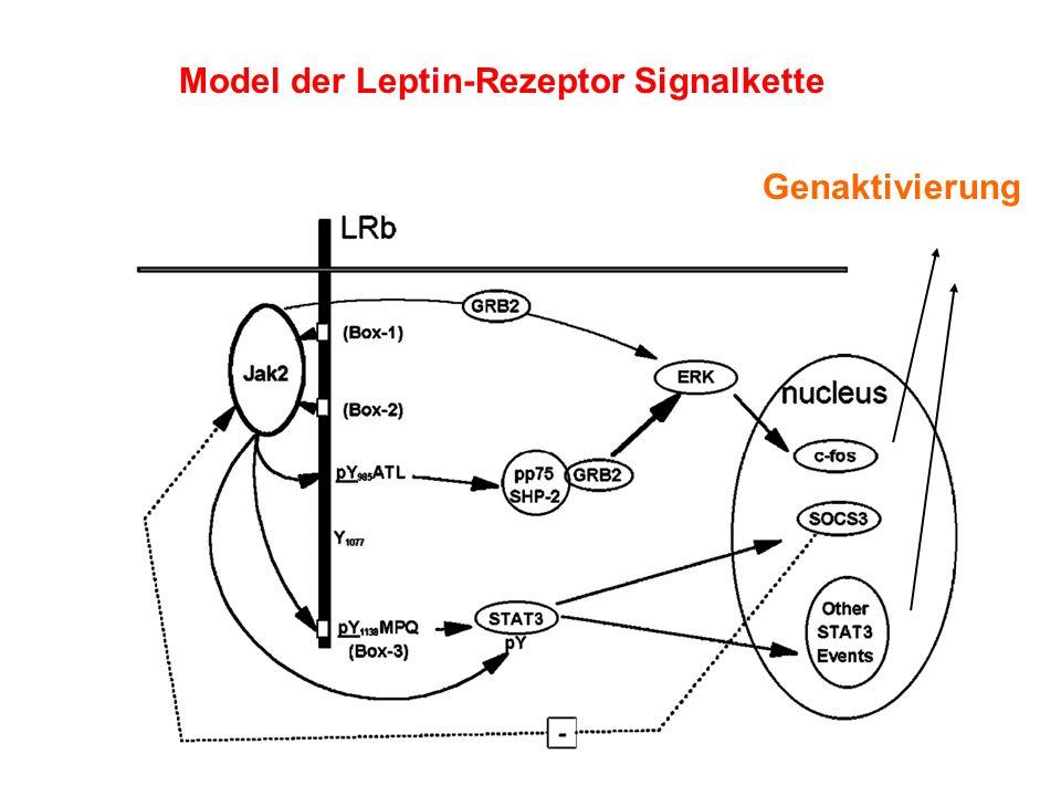 Model der Leptin-Rezeptor Signalkette Genaktivierung