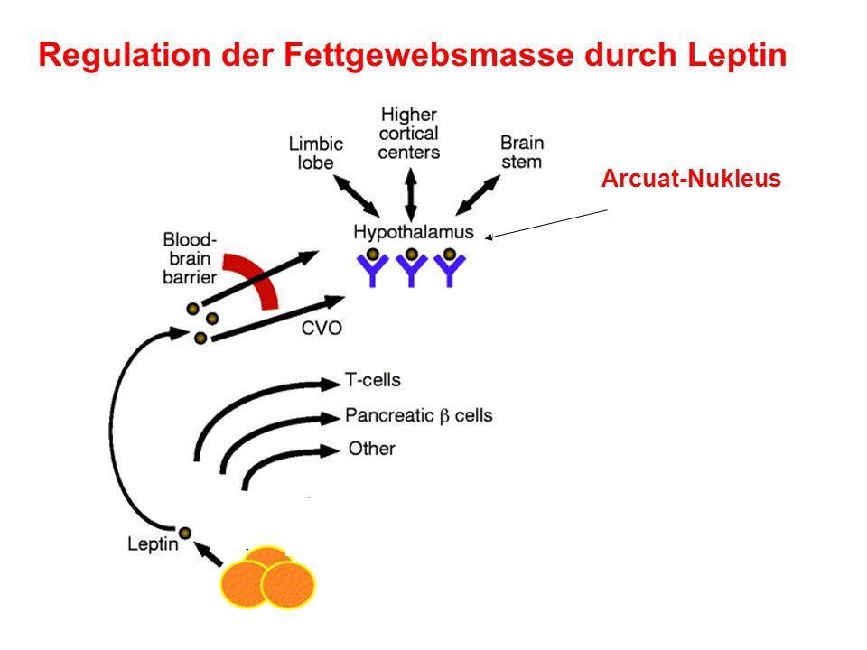 Regulation der Fettgewebsmasse durch Leptin Arcuat-Nukleus