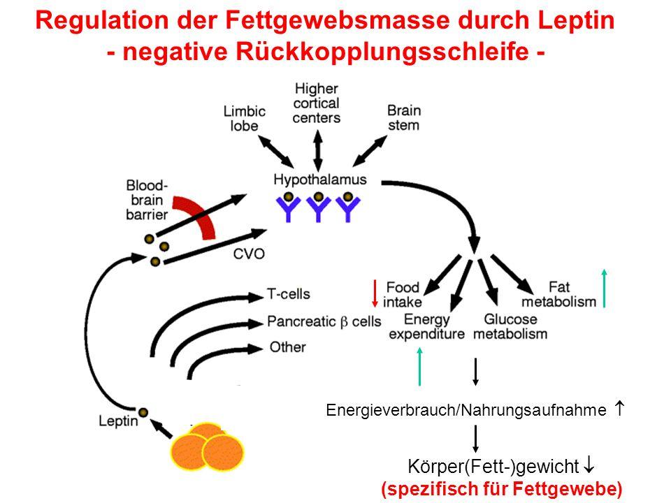Regulation der Fettgewebsmasse durch Leptin - negative Rückkopplungsschleife - Energieverbrauch/Nahrungsaufnahme Körper(Fett-)gewicht (spezifisch für