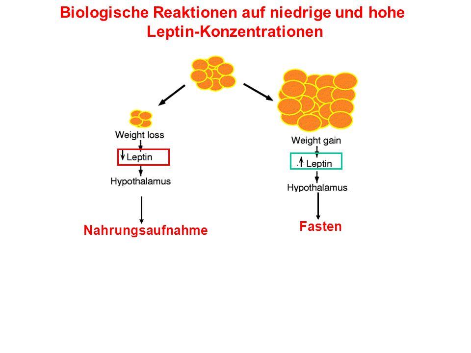 Biologische Reaktionen auf niedrige und hohe Leptin-Konzentrationen Nahrungsaufnahme Fasten